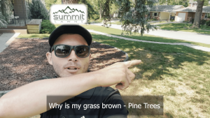 WHY IS MY GRASS BROWN - PINE TREES